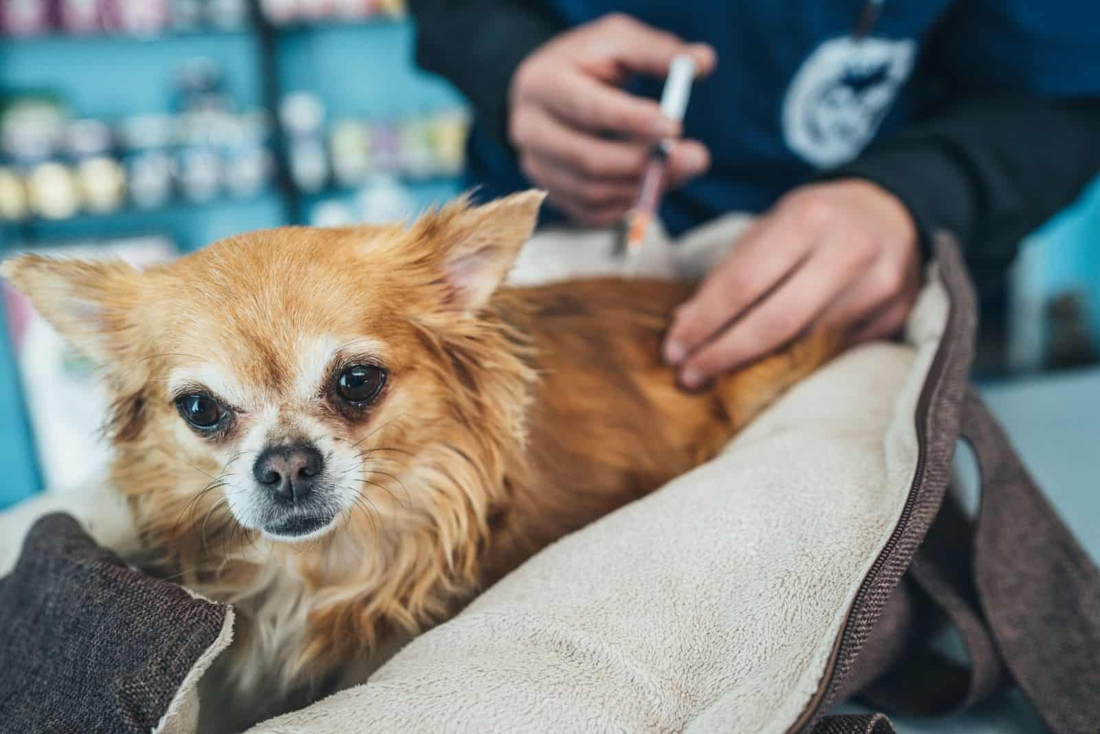 veterinarian giving vaccine to the long haired chihuahua in the clinic