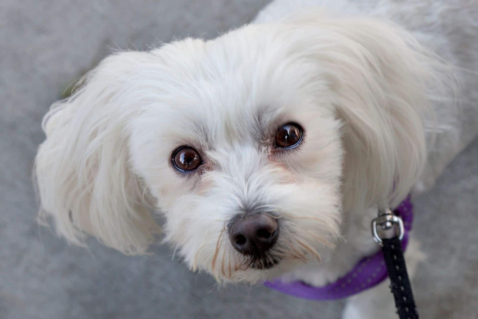 white shih tzu looking up at the camera