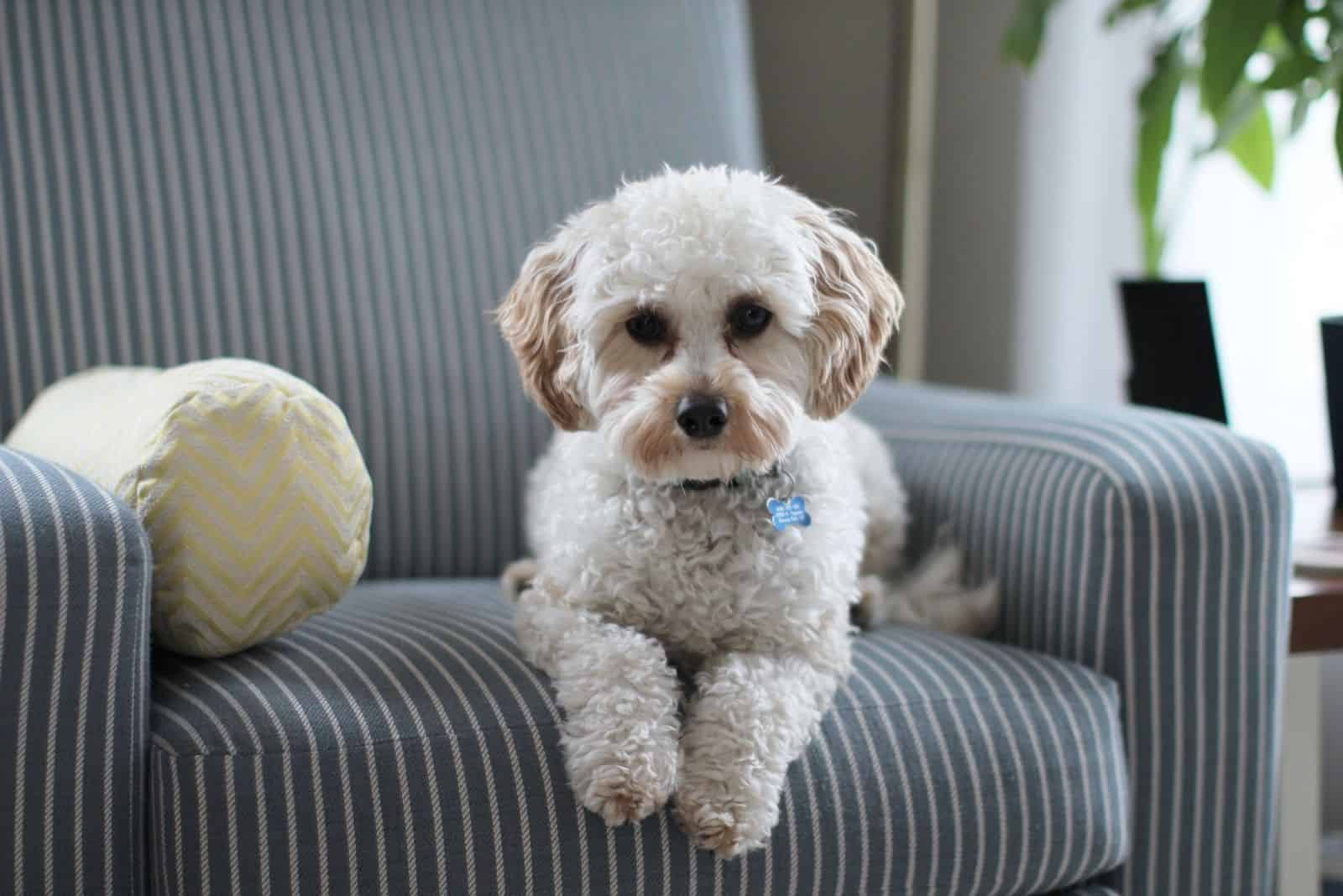 white shih tzu puppy dog sitting on a fabric sofa