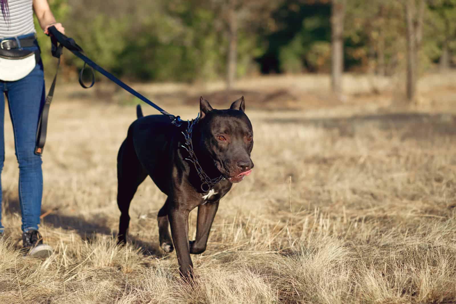 woman walks a big black pitbull on a leash in the park