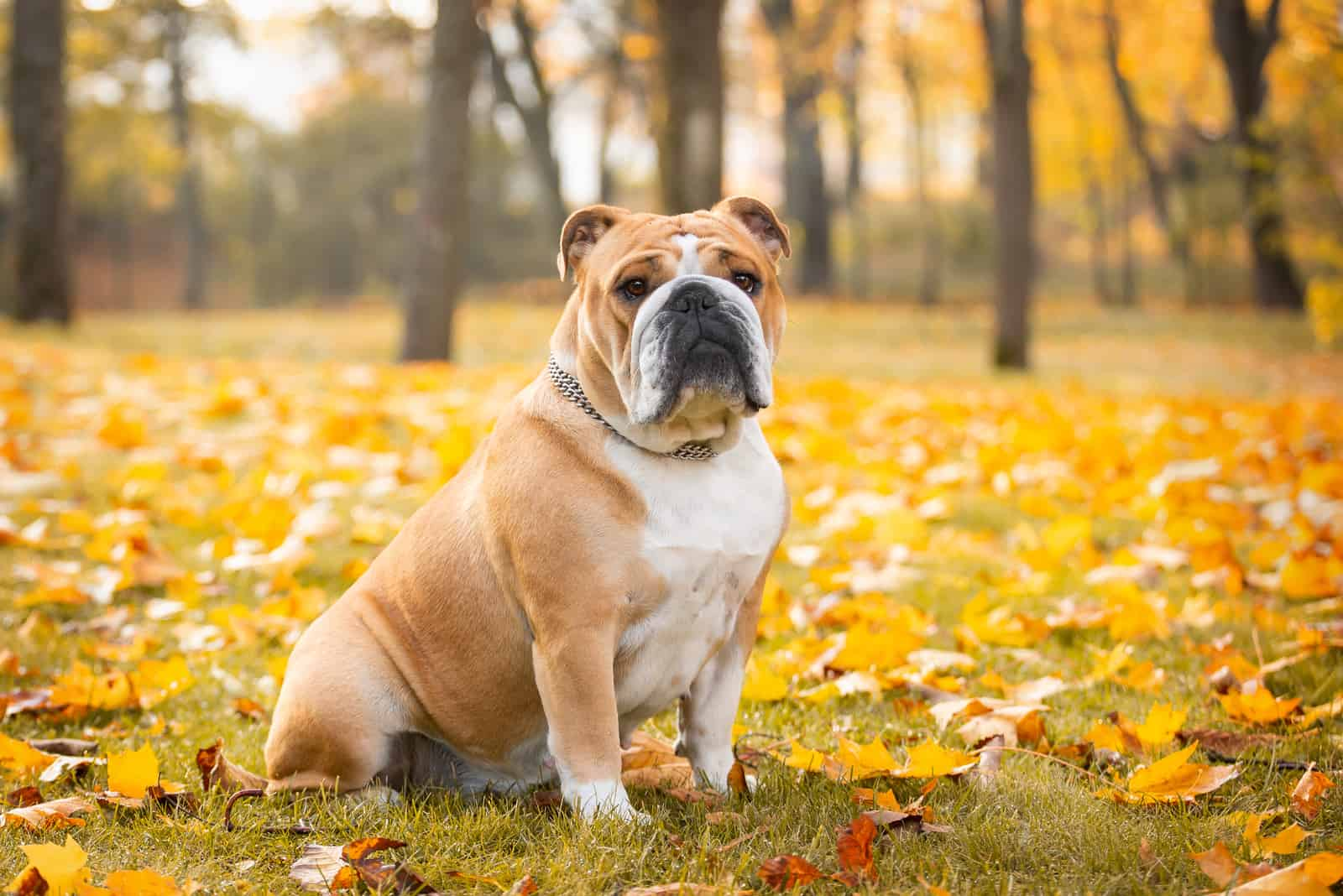 Adorable English bulldog poses in the autumn in the park