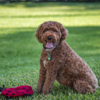brown cavapoo dog sitting on the grass with a red toy