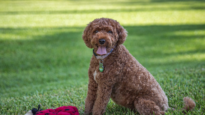 Cavapoo Cost: Is This Doodle Worth The Price Tag?