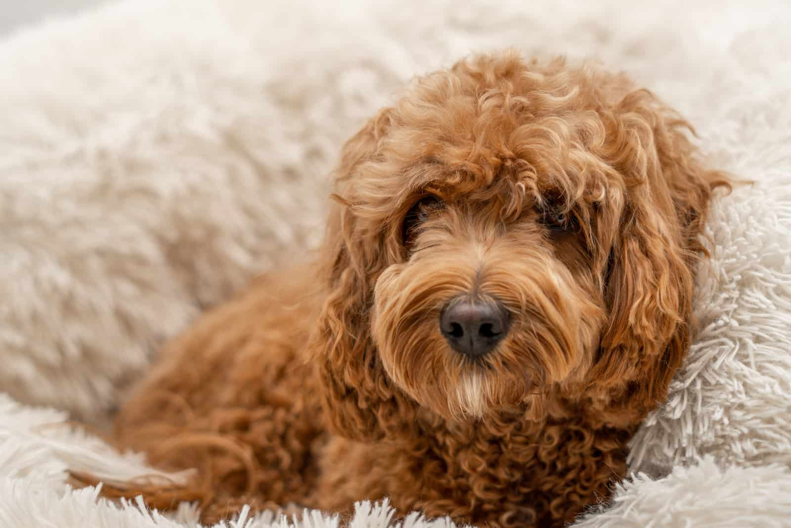 Cavapoo dog in his bed