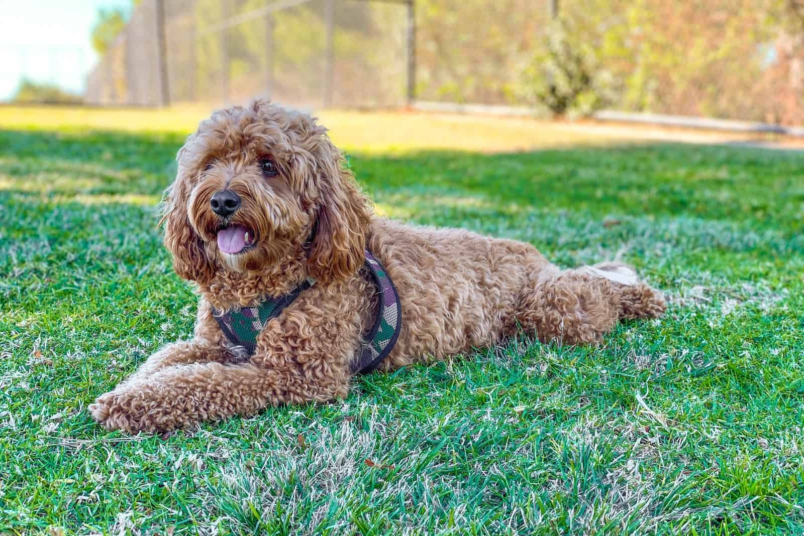 Cavapoo dog in the park