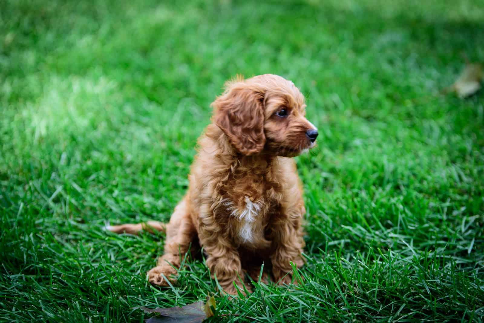 Cavapoo puppy in the backyard