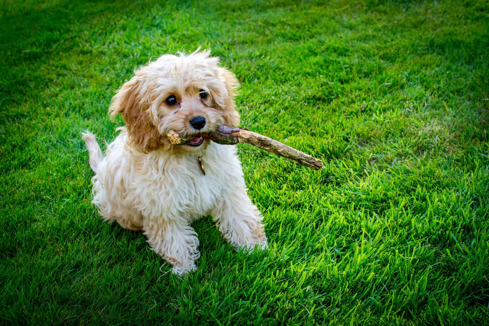 Cavapoo puppy with stick in his mouth