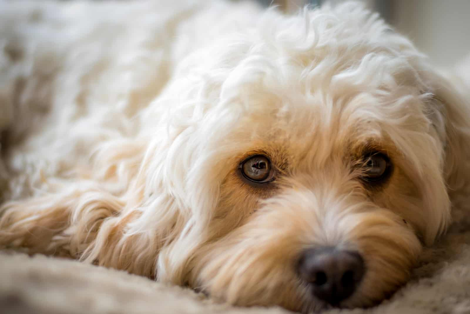 Cavapoo resting on bed