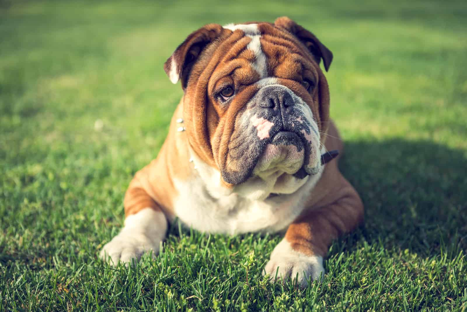 Cute English bulldog laying down on the grass