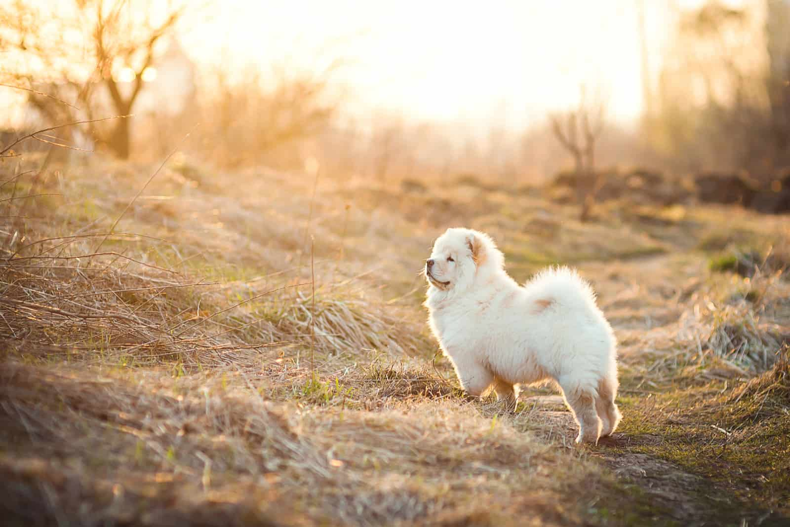Cute white chow chow in the field