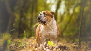 english bulldog walking in the wood