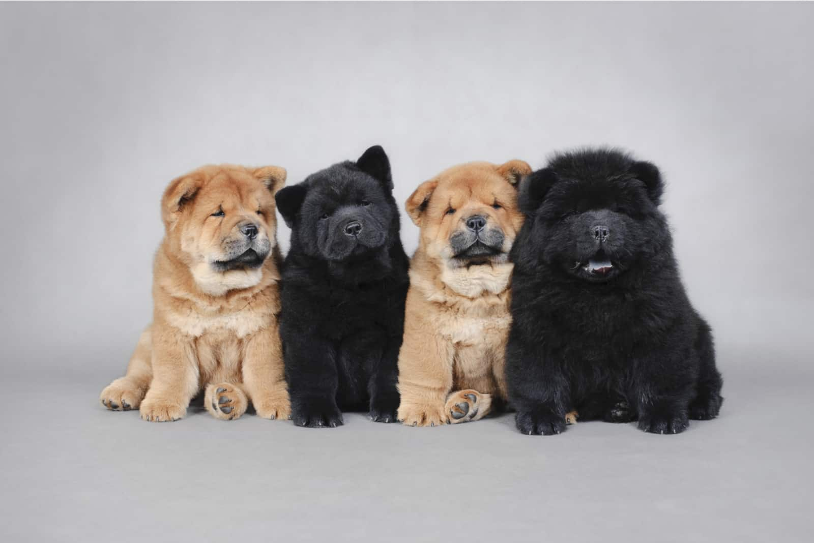 Four little Chow chow puppies