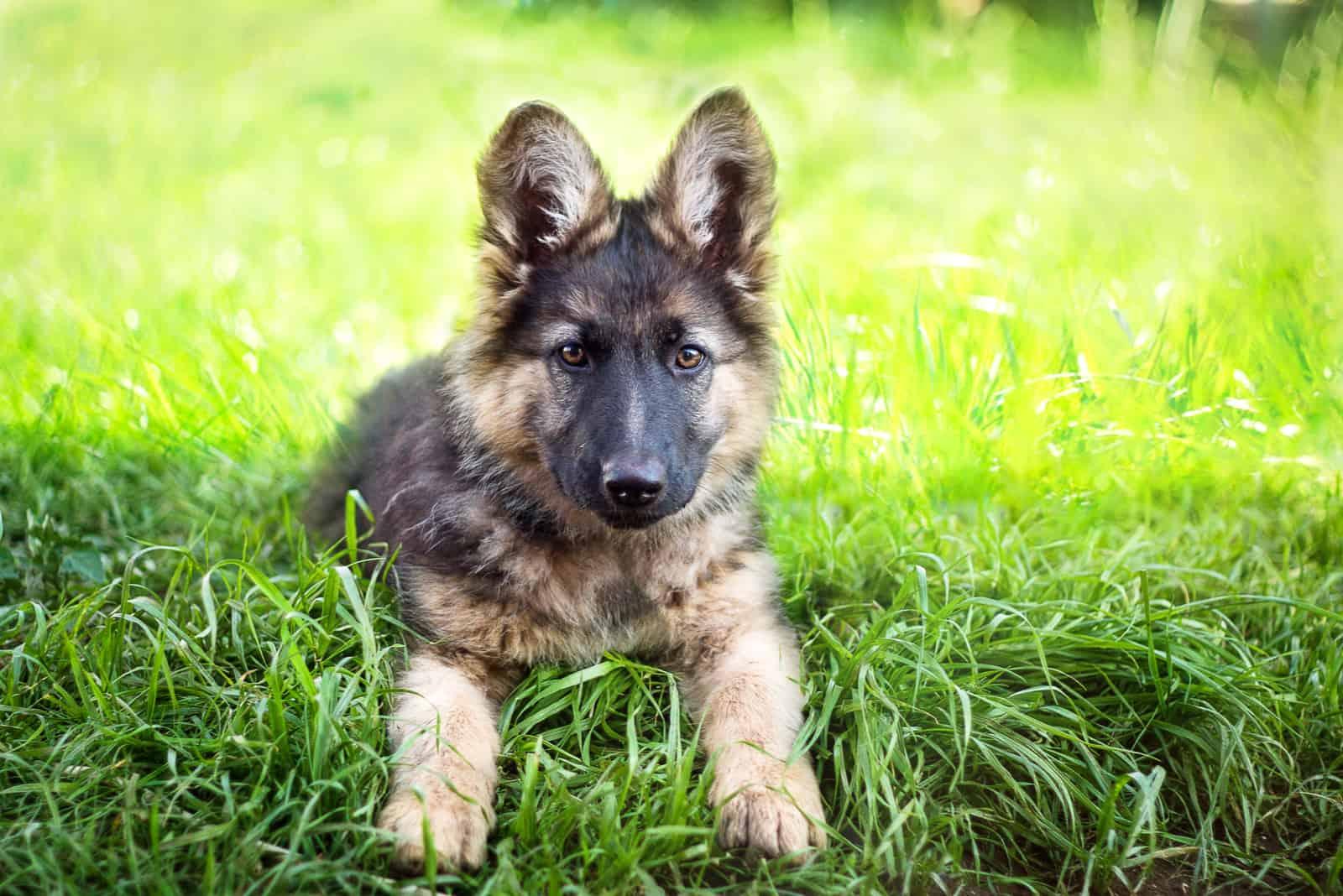 German Shepherd puppy on the grass