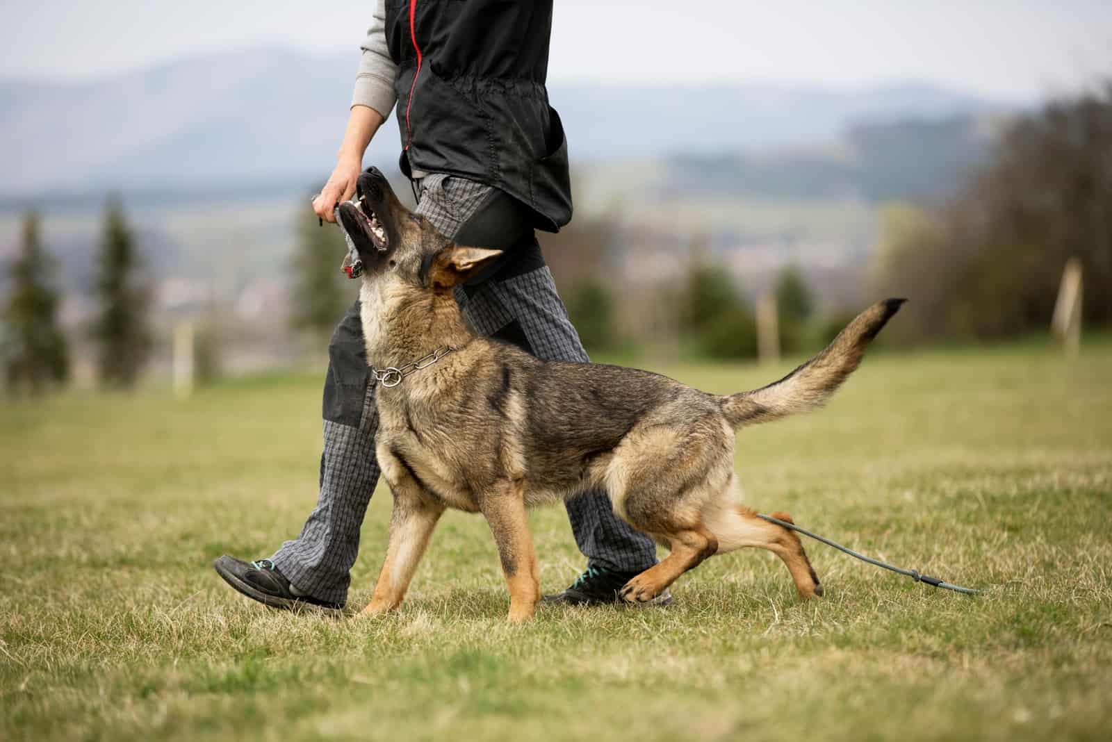 German shepherd in obedience training on green grass