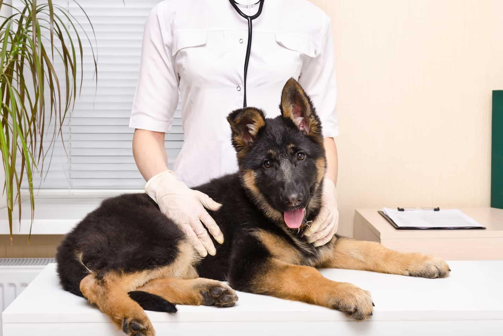 German shepherd puppy at the vet