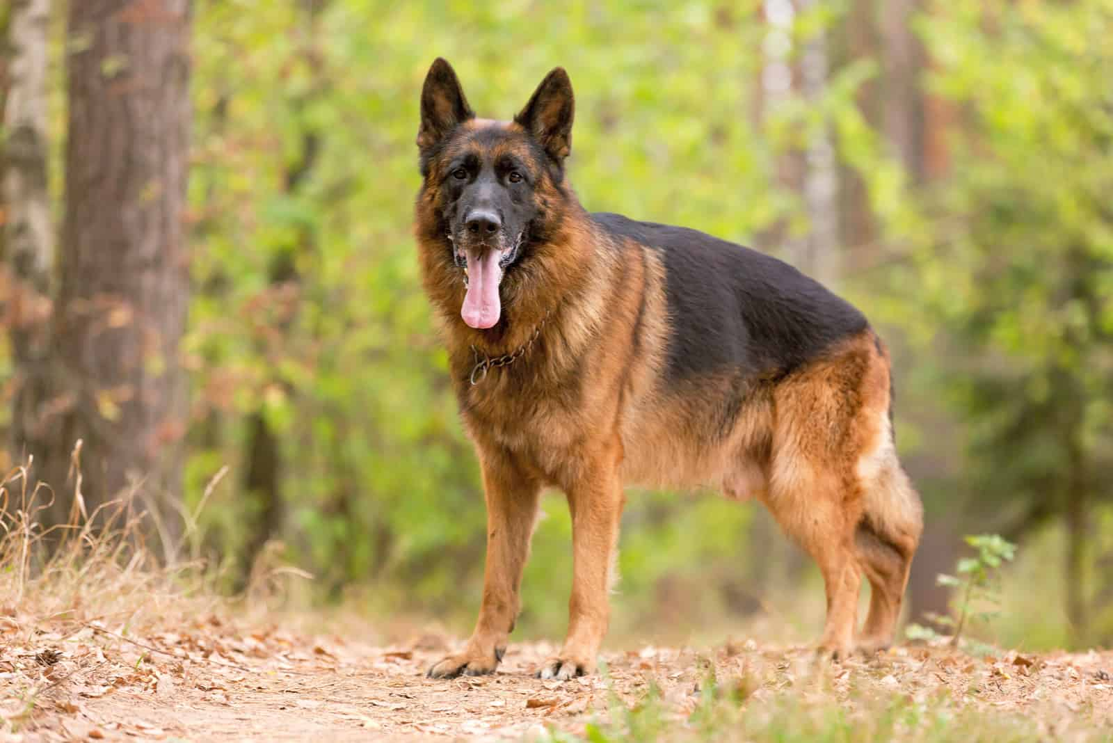 German shepherd standing in forest