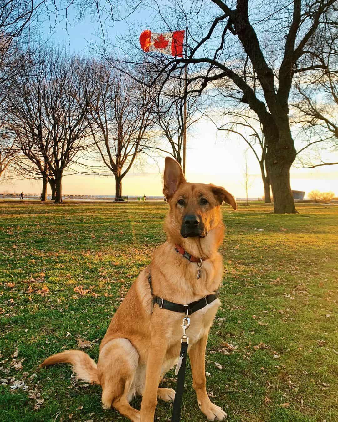 Golden Shepherd dog sitting on the grass