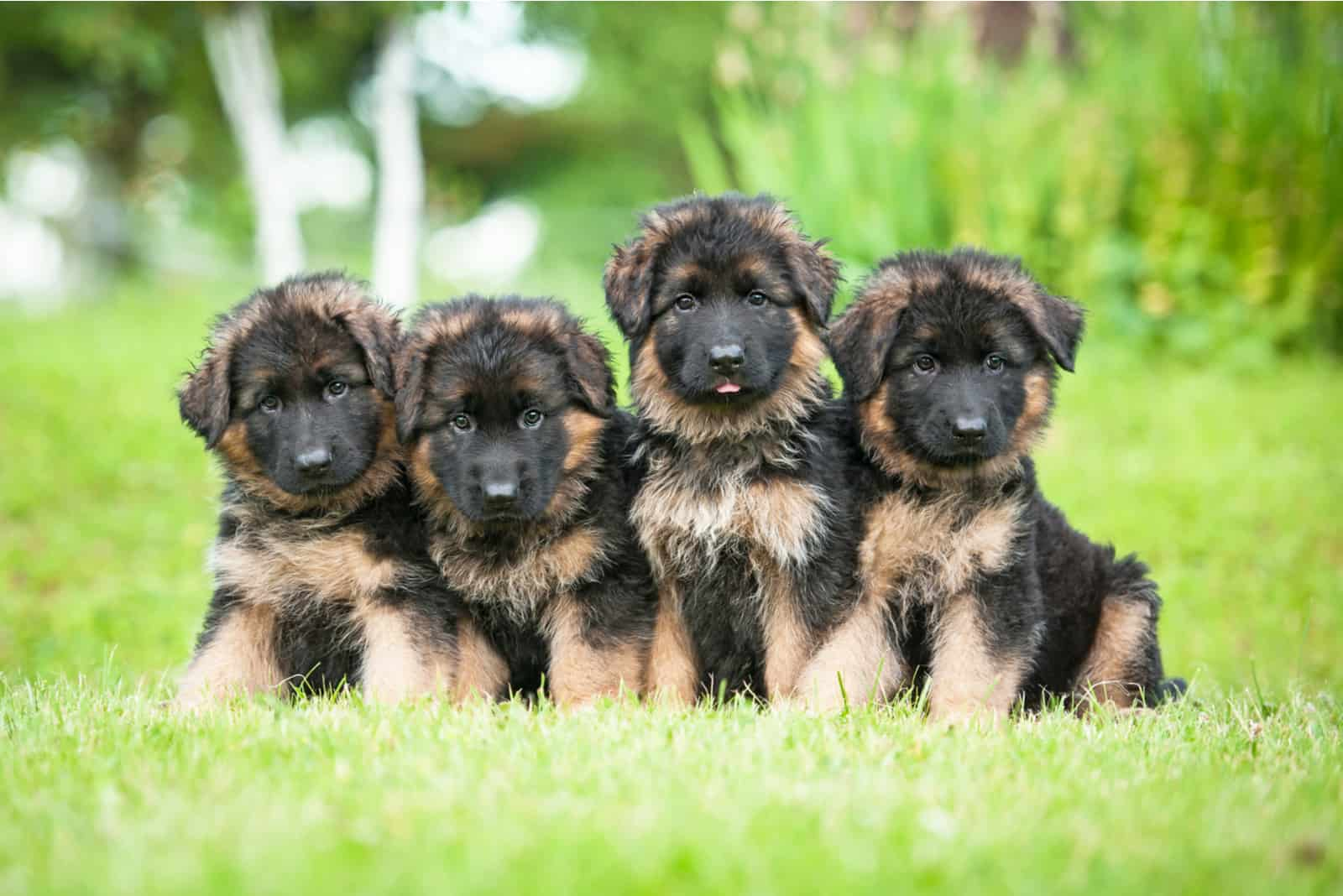 Group of four little german shepherd puppies