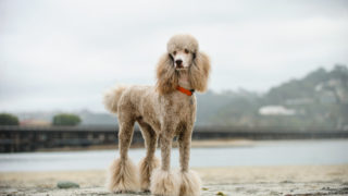 poodle standing outdoor