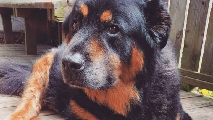 Rottweiler Chow Chow Mix: A Complete Guide For Crossbreed Lovers