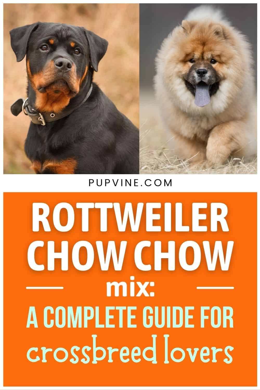 Rottweiler Chow Chow Mix A Complete Guide For Crossbreed Lovers