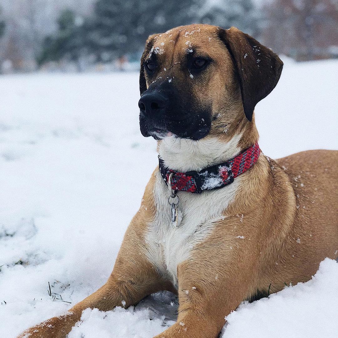 Shepherd Mastiff dog on snow