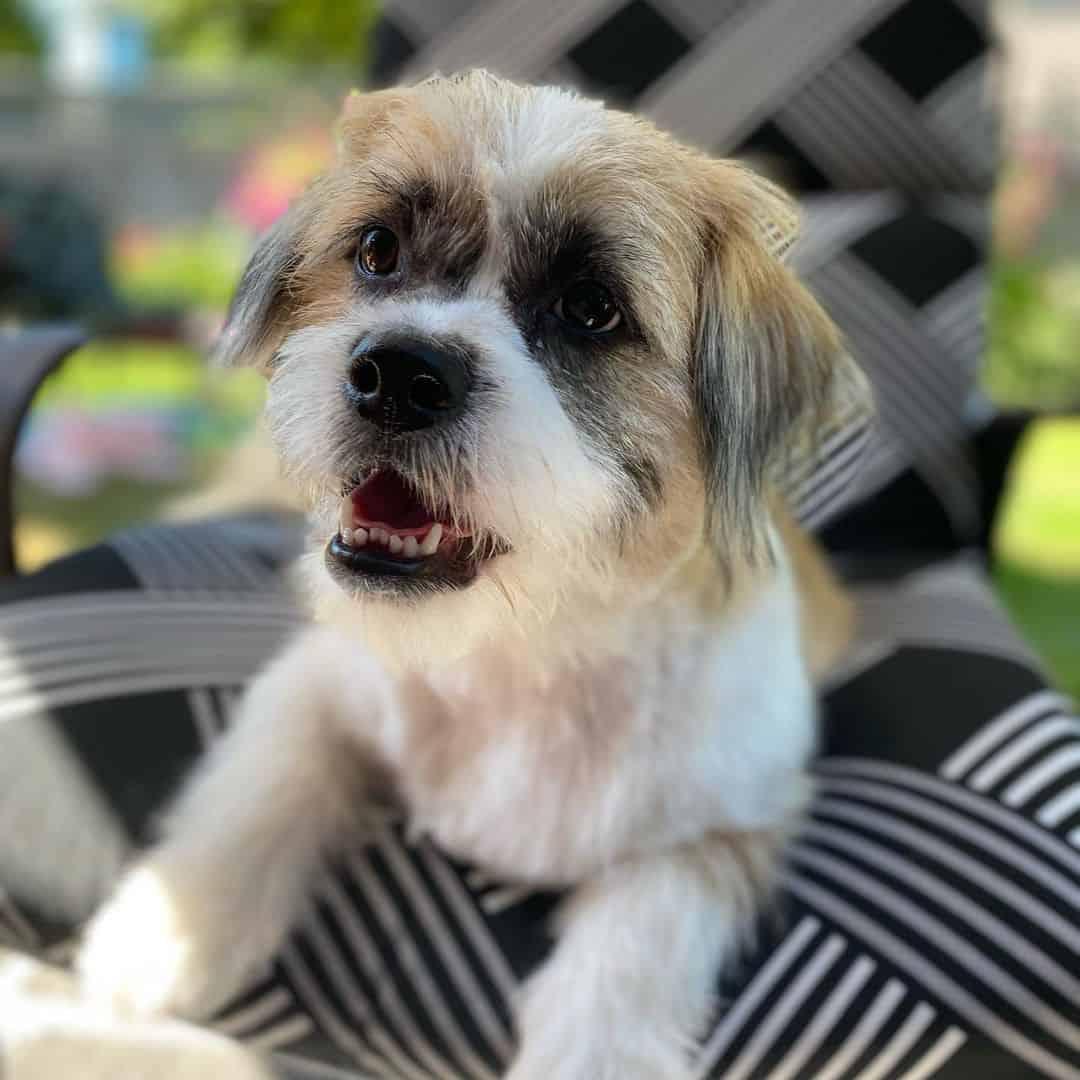 adorable Shorgi dog sitting oin chair