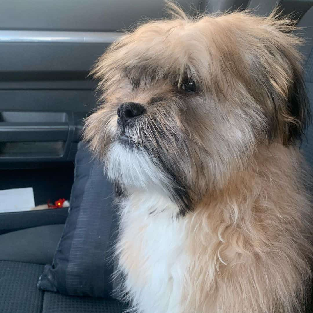 Shorgi sitting in the car
