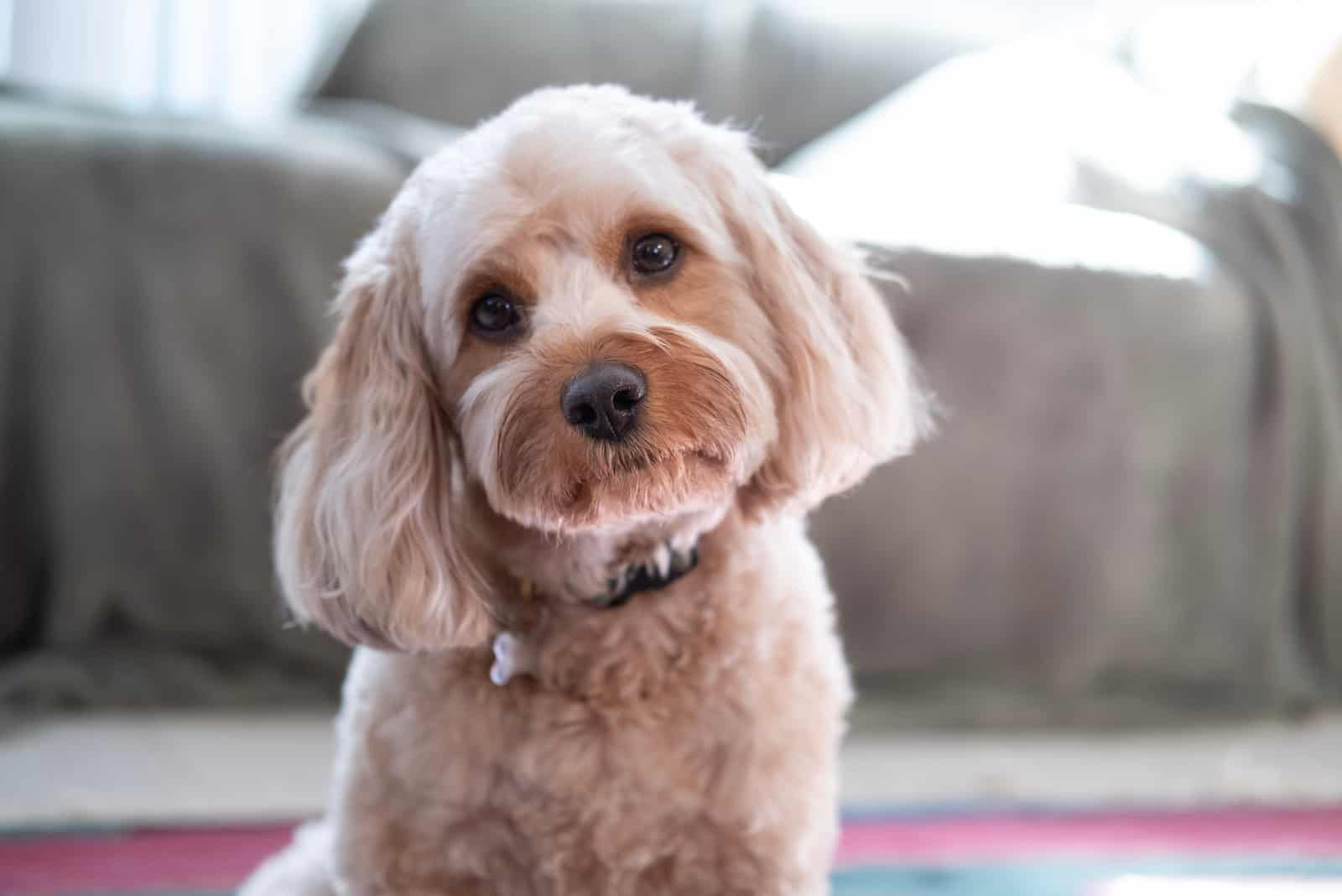 Sweet Cavapoo Puppy Dog