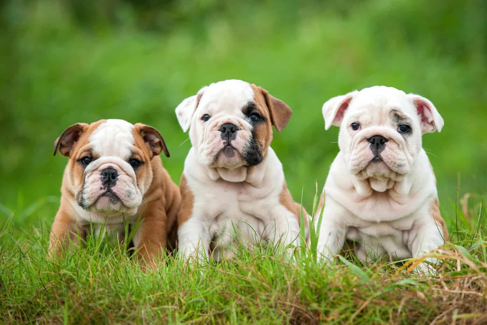 Three english bulldog puppies sitting on the grass