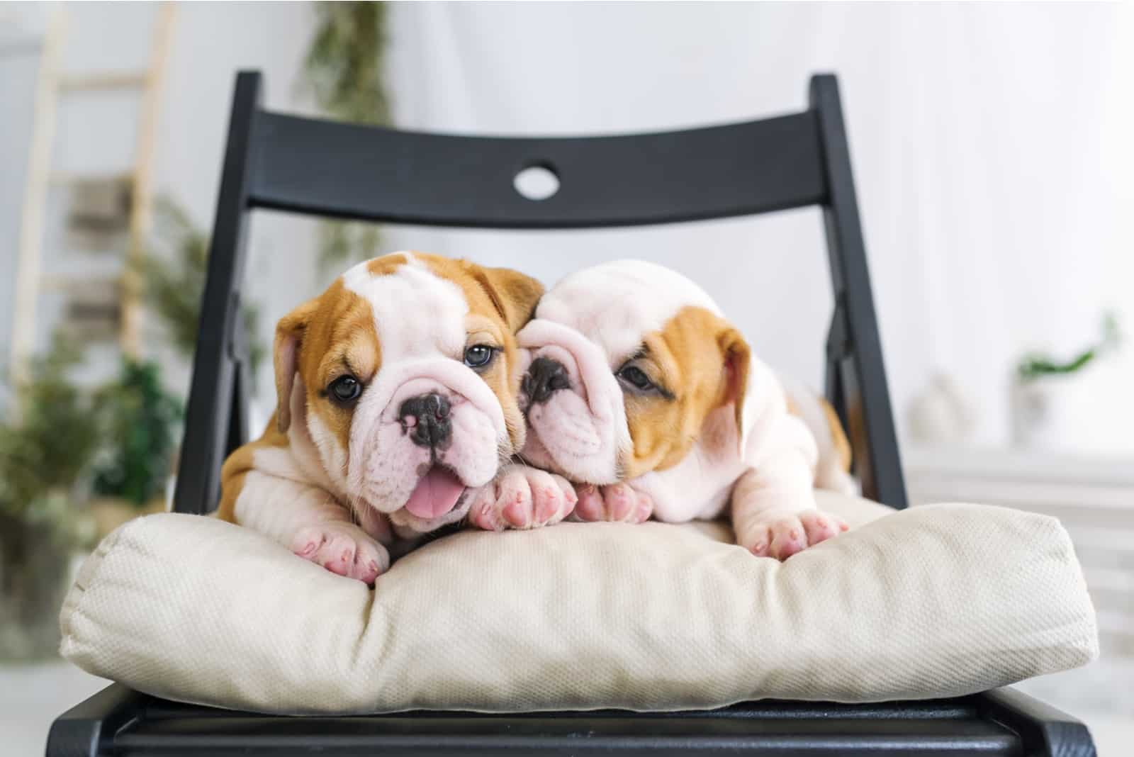 Two pretty puppies of a bulldog lying on a soft chair