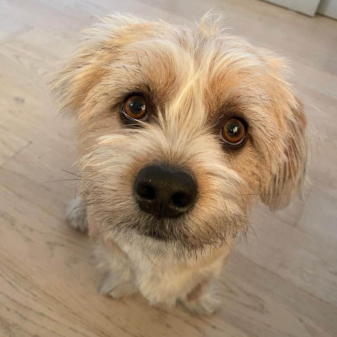 adorable Shorgi dog in the house
