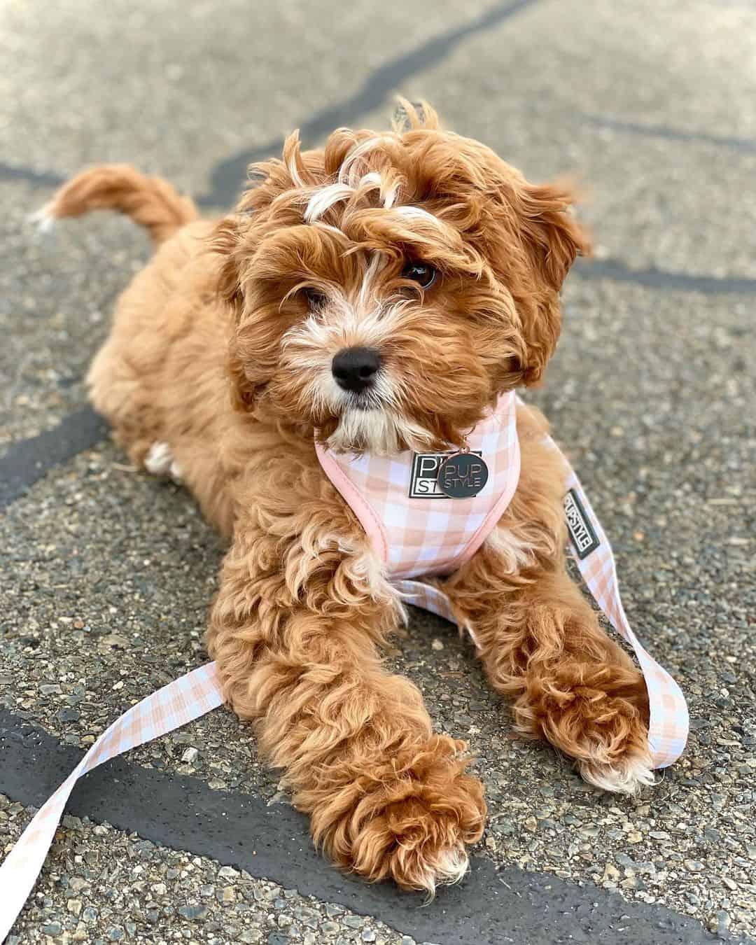 adorable cavapoo dog lying on the ground