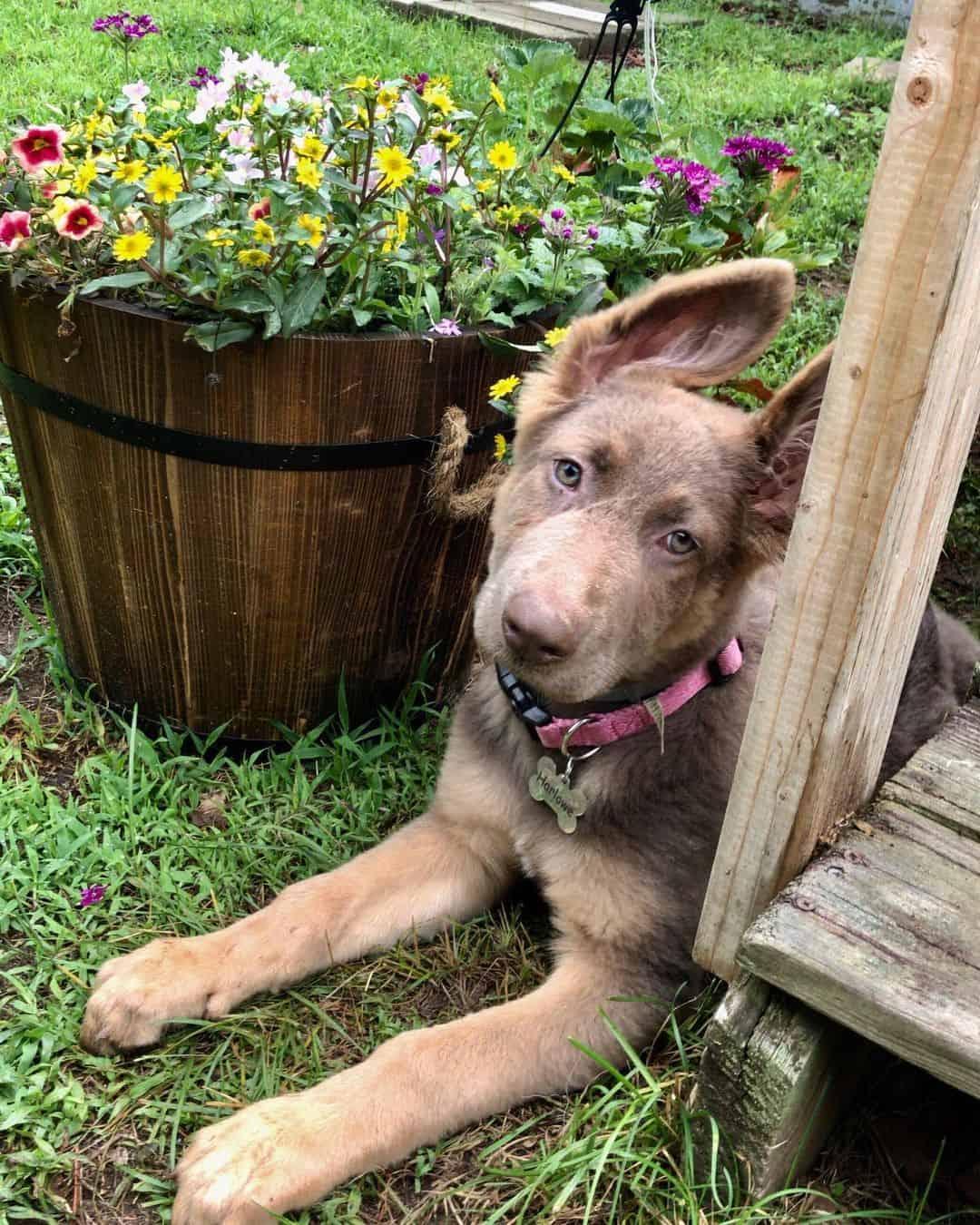 adorable isabella german shepherd dog