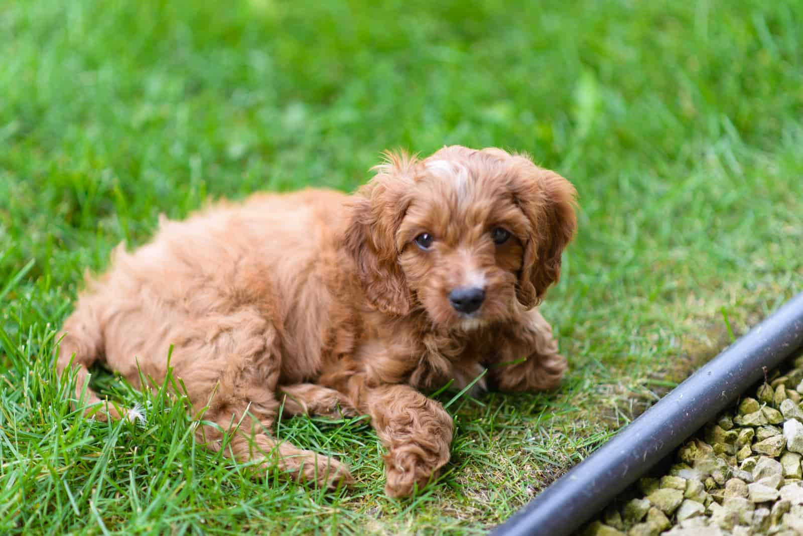 adorable little Cavapoo puppy lying in the backyard