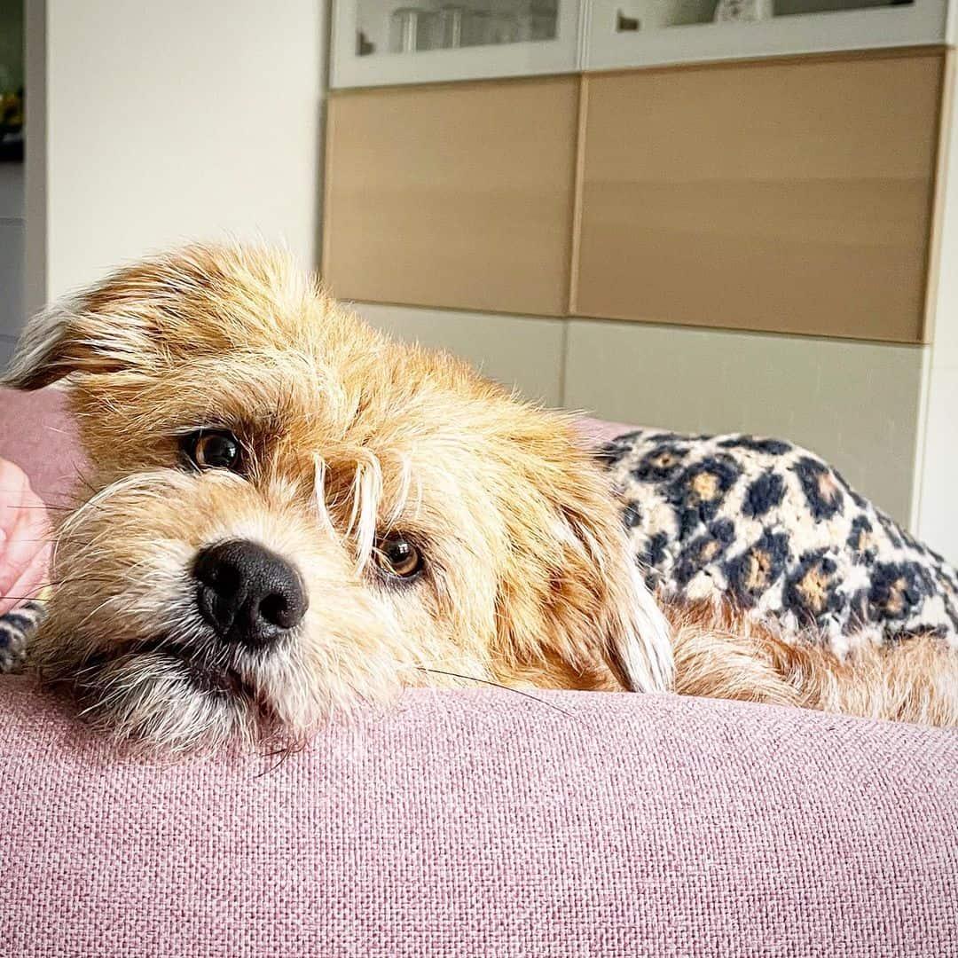 adorable little shorgi dog