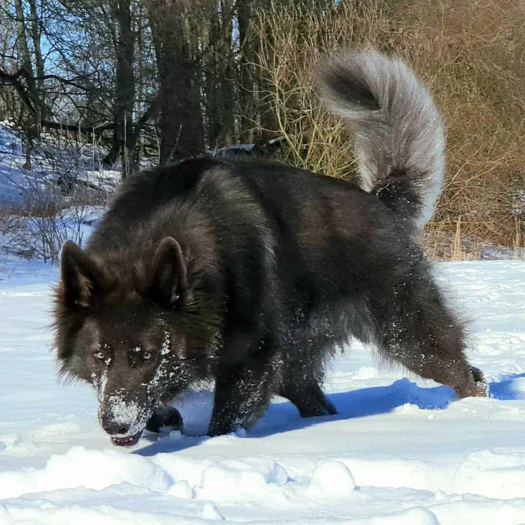 blue german shepherd on snow