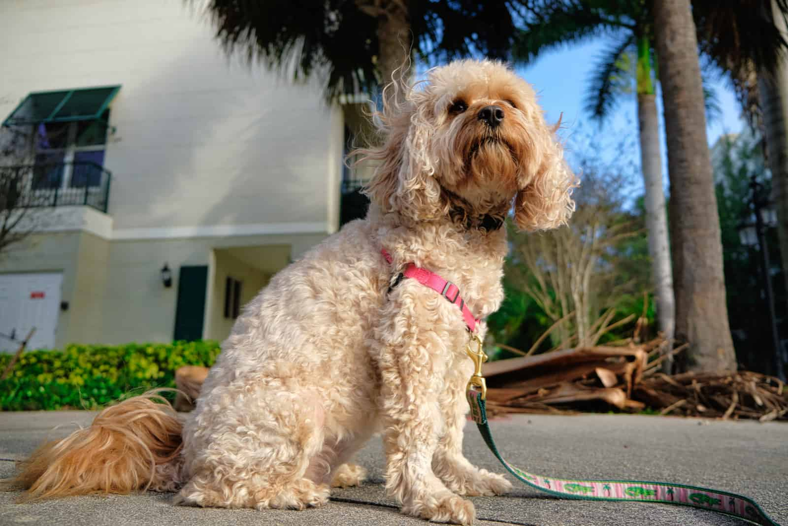 beautiful cavapoo dog outdoors