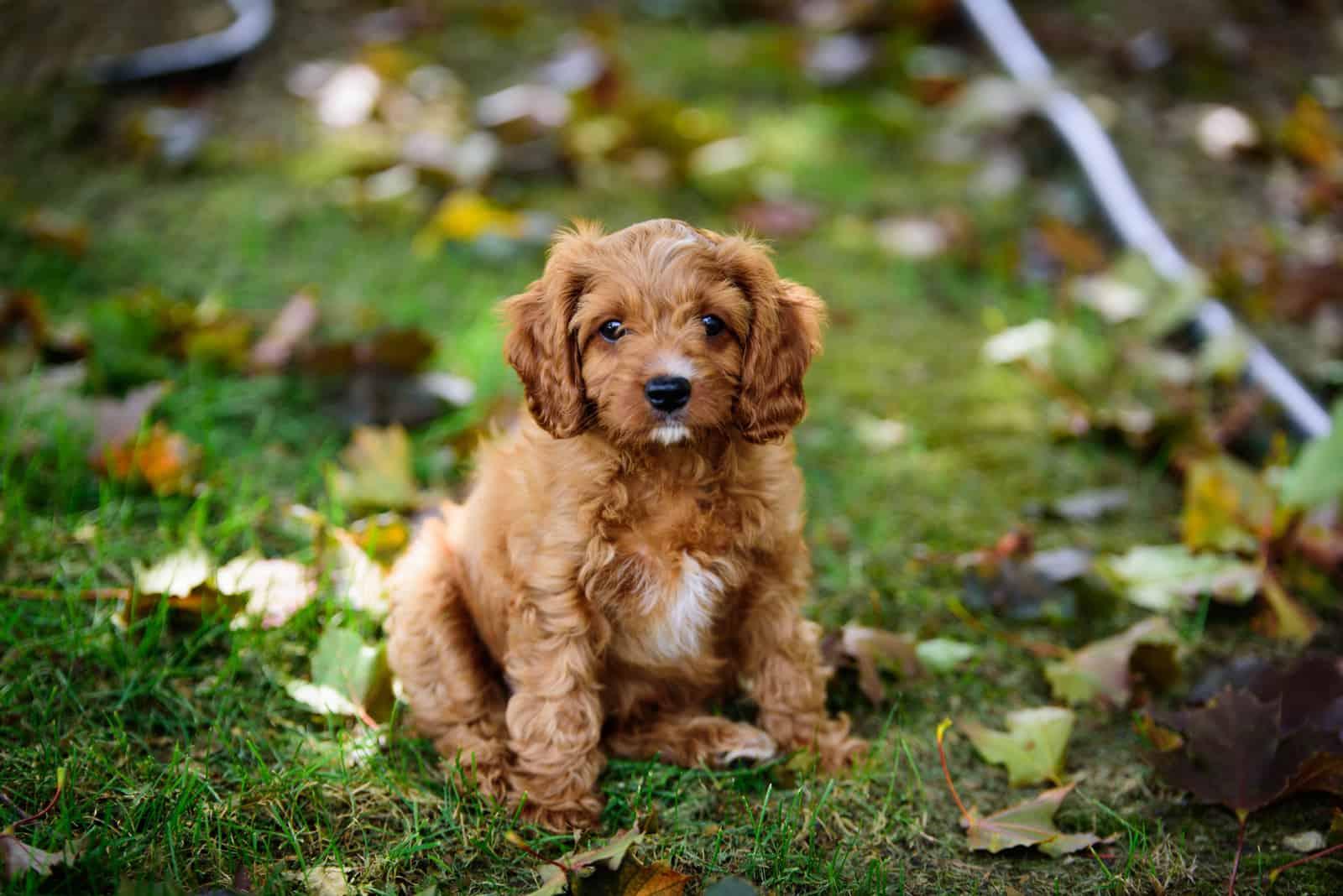 cavapoo litttle puppy on the grass