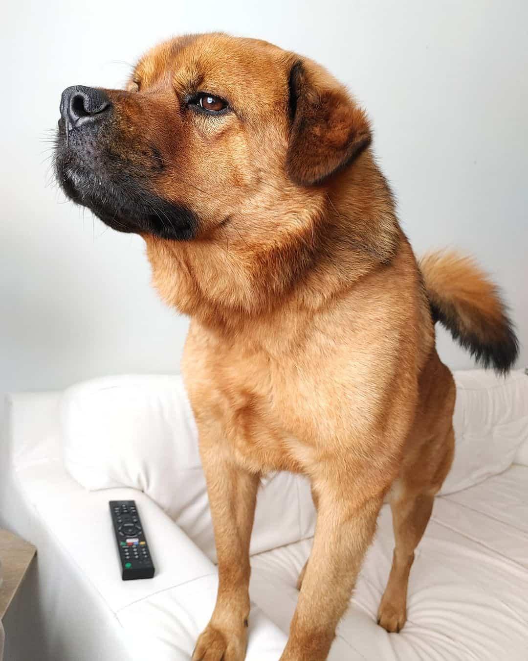 chow chow rottweiler mix dog