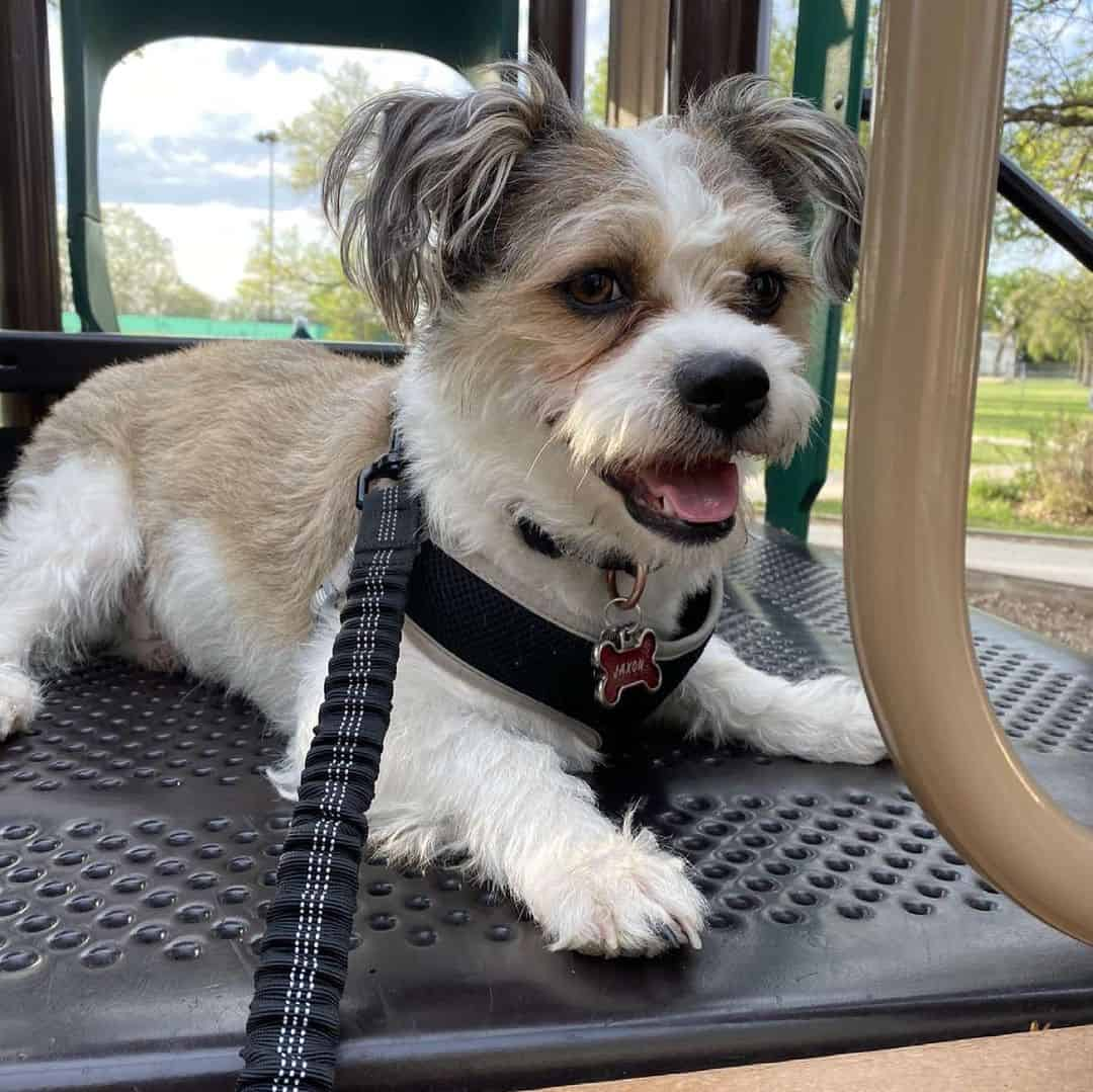 cute little shorgi dog outdoors