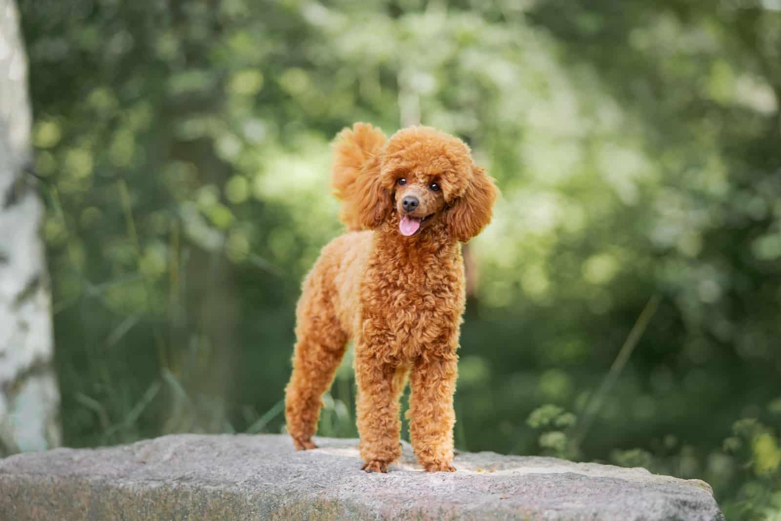 phối màu lông chó Poodle