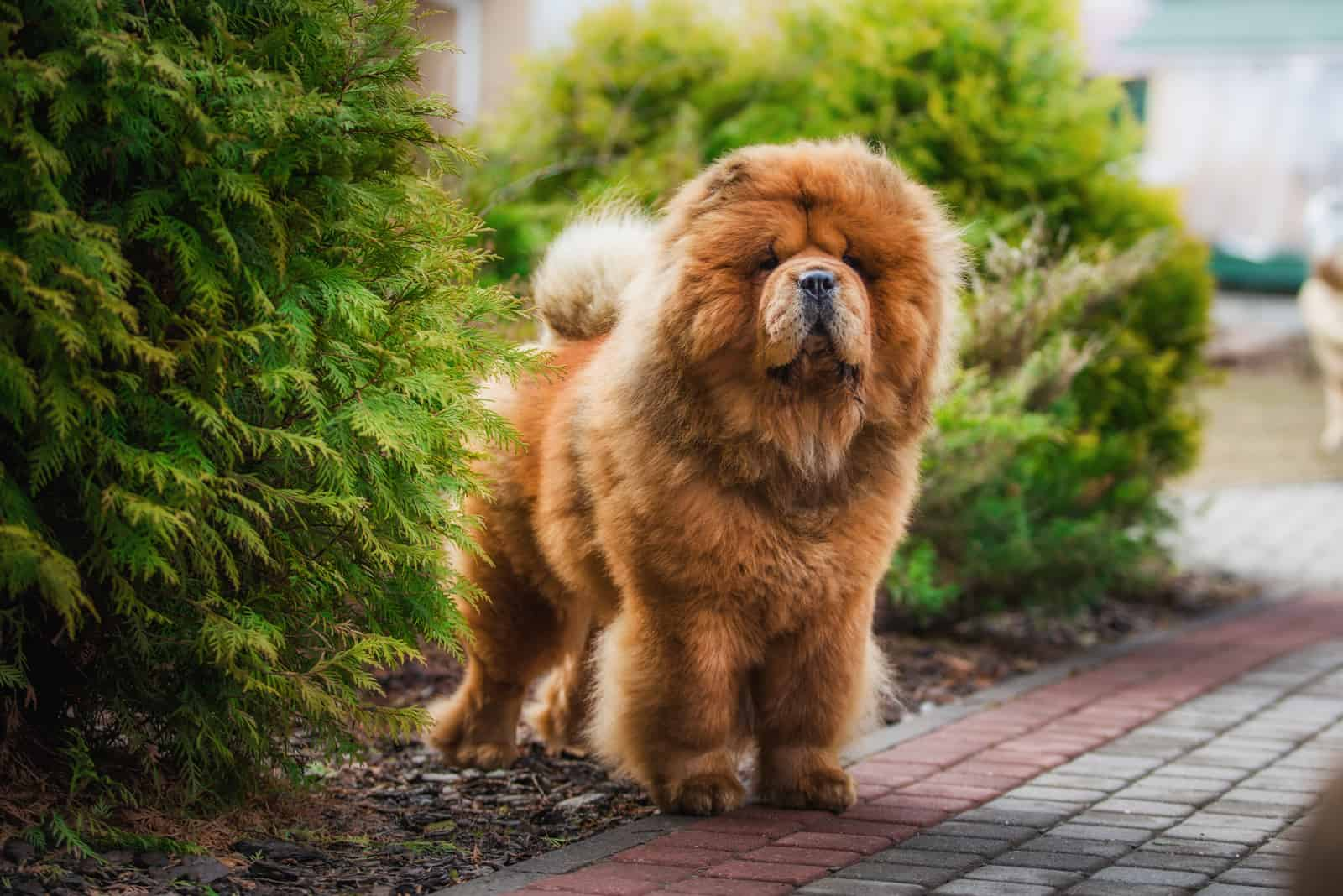 red dog chow chow