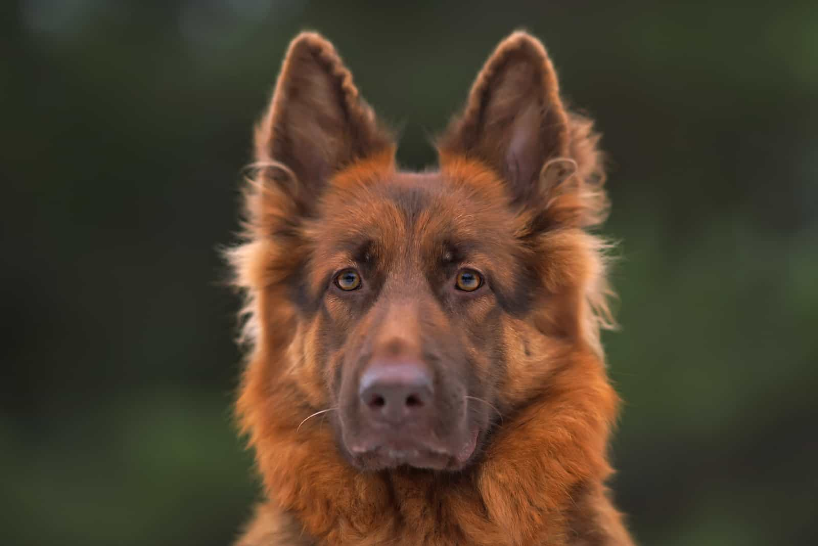 serious long-haired liver German Shepherd