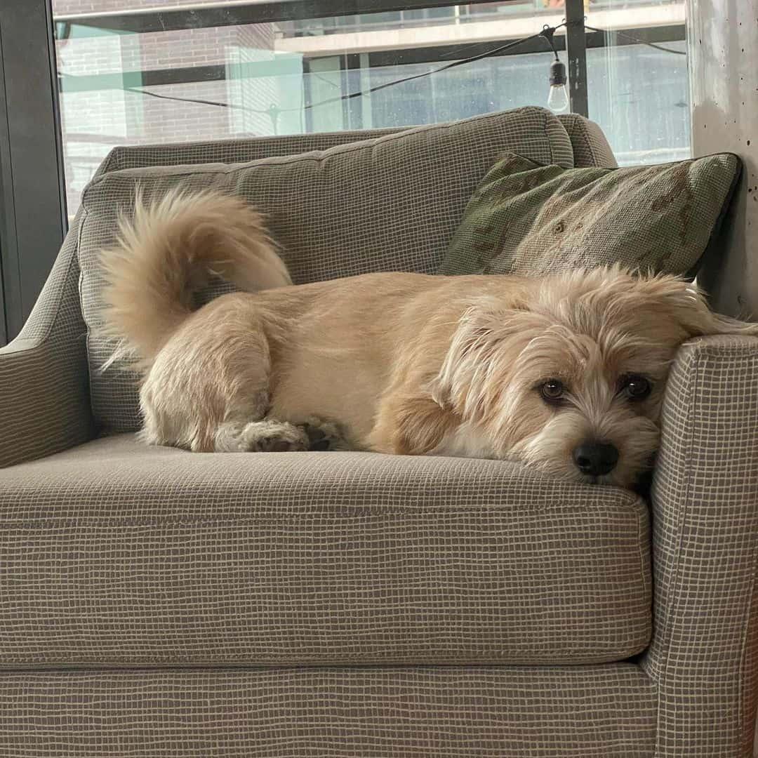 shorgi dog lying on armchair