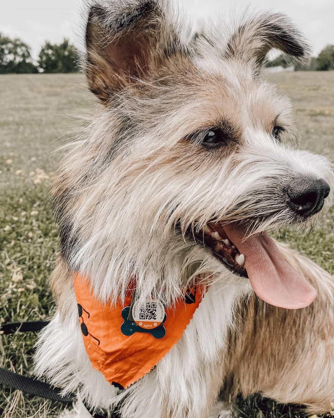 shorgi dog on the grass