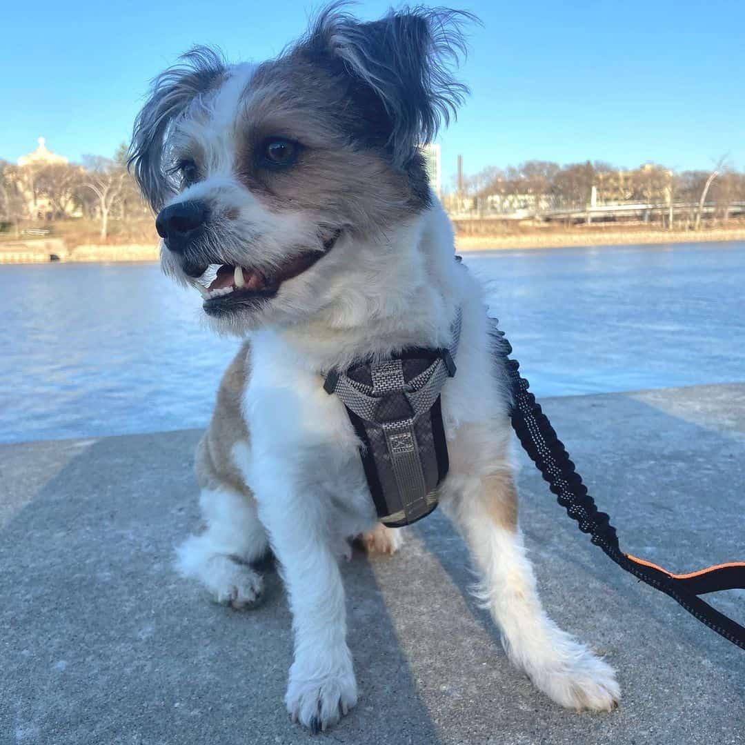 shorgi dog outdoors