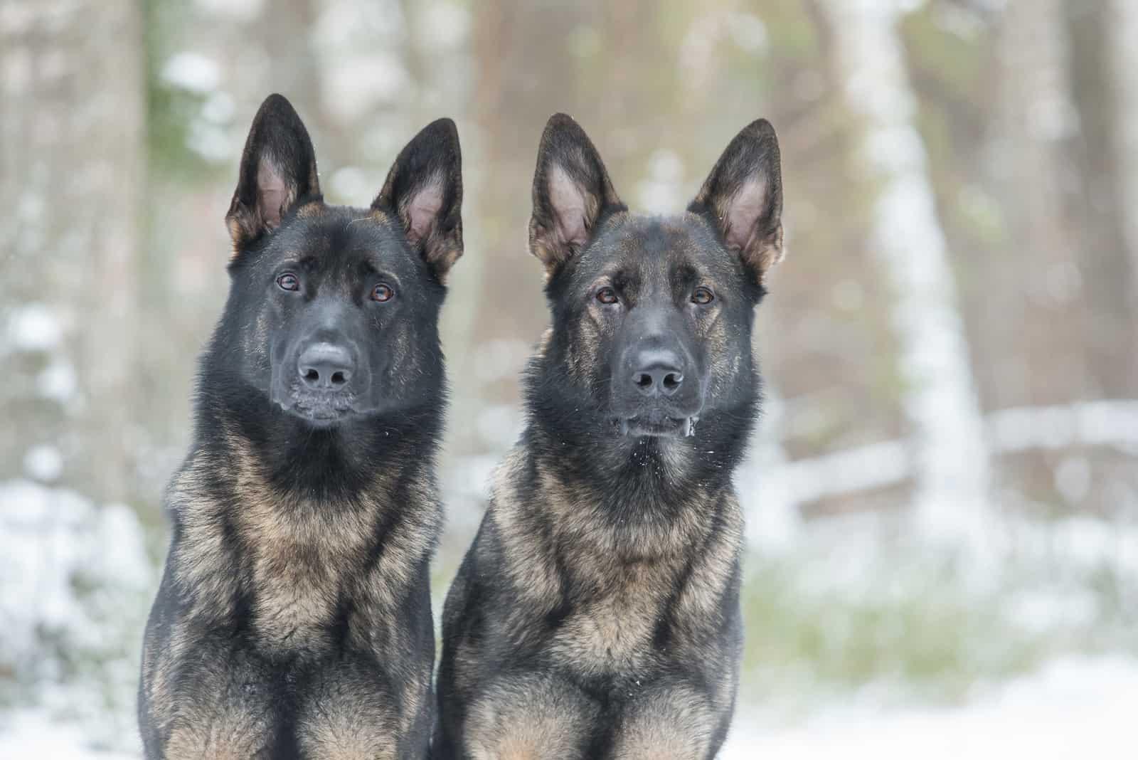 two gray German shepherds dogs