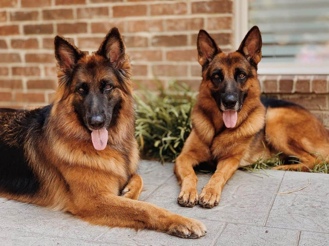 two red and black german shepherd dogs
