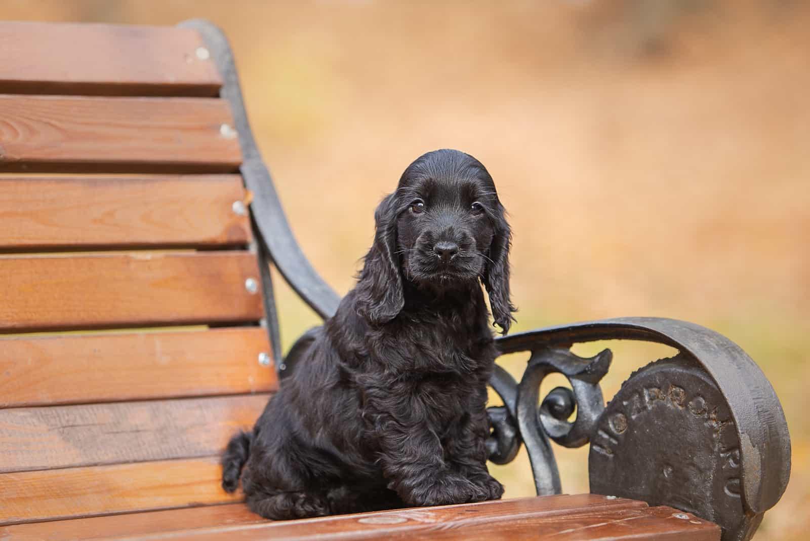 A black english cocker spaniel puppy sitting on a bench